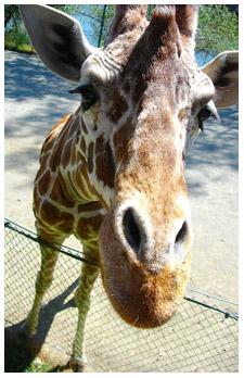 confident giraffe